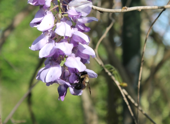 Wisteria with Bumblebee